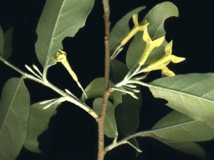 Elaeagnus umbellata 2-close