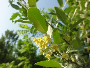 Elaeagnus umbellata, autumn olive