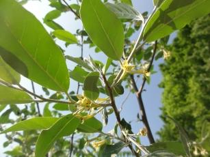 Elaeagnus umbellata 2123
