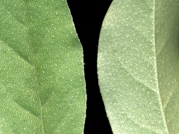 Elaeagnus umbellata leaves-close