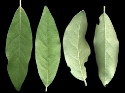 Elaeagnus umbellata leaves