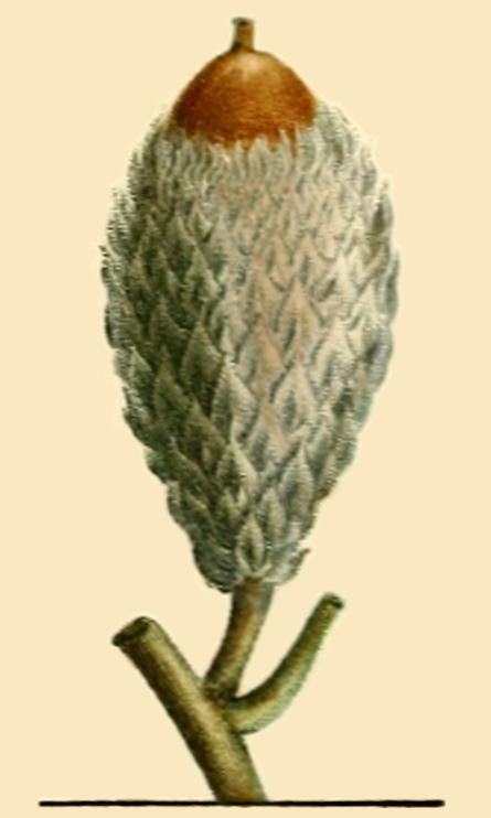 Bur oak acorn from Histoire de Arbres Forestiers de l'Amerique Sptentrionale par Andre Michaux, Tome I, 1813.