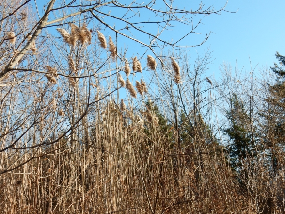 Dec. 26, 2014. Phragmites at the south end of the transfer station.