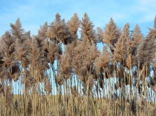 Phragmites on west side of landfill, December, 2014.