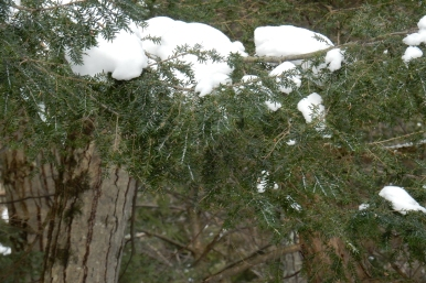 Hemlock Woolly Adelgid (HWA) infestation at Bahar Nature Preserve