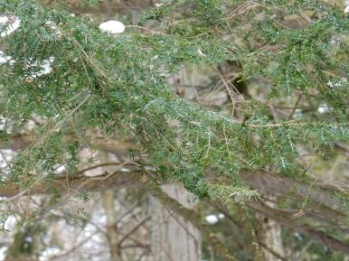 Hemlock Woolly Adelgid (HWA) infestation at Bahar Nature Preserve