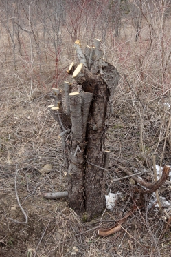Typical buckthorn stump
