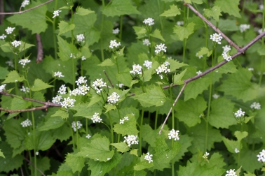Garlic mustard (Alliaria petiolata), May 2007.