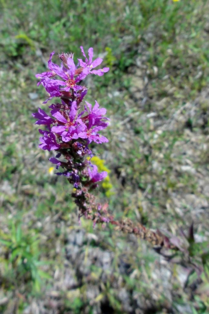 Purple Loosestrife, Aug. 19, 2012