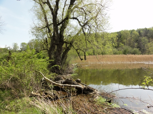 Southern Beaver dam on Gully Rd. Rosa multiflora at left, Phragmites australis at right