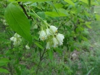 Staphylea trifolia SCA-3464