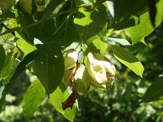 Staphylea trifolia SCA-5107