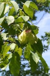 Staphylea trifolia SCA-5109