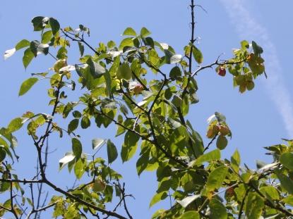 Staphylea trifolia SCA-5110