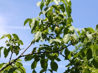 Staphylea trifolia SCA-5111