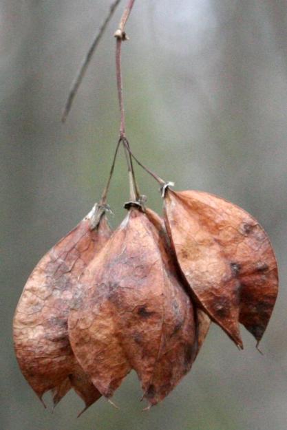 Staphylea trifolia SCA-9963