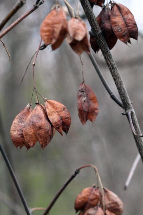 Staphylea trifolia SCA-9964