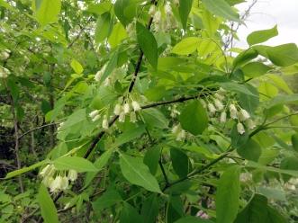 Staphylea_trifolia_SCA-3462