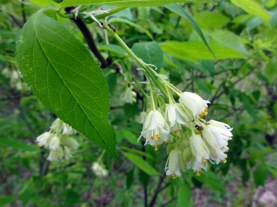 Staphylea_trifolia_SCA-3464