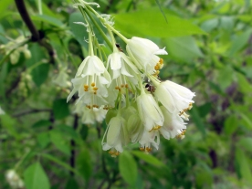 Staphylea_trifolia_SCA-3465