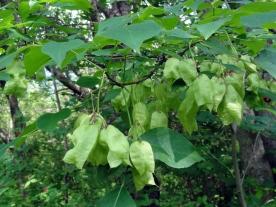 Staphylea_trifolia_SCA-3488