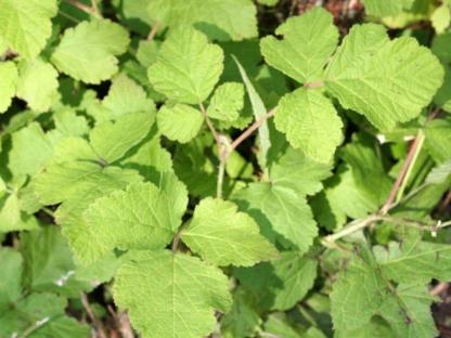 2014-08-21 Rubus caesius 9720