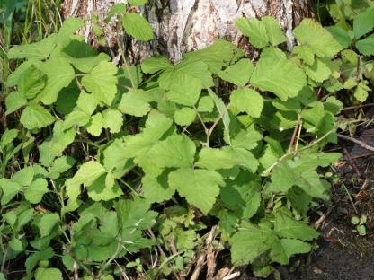 2014-08-21 Rubus caesius 9721