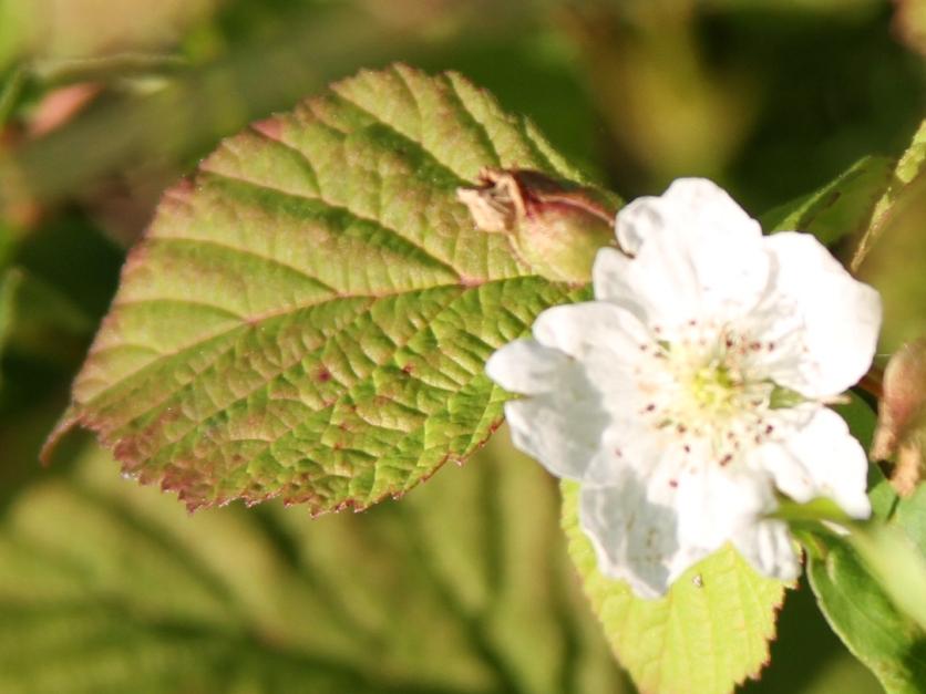 2015-07-02 Rubus caesius 4579