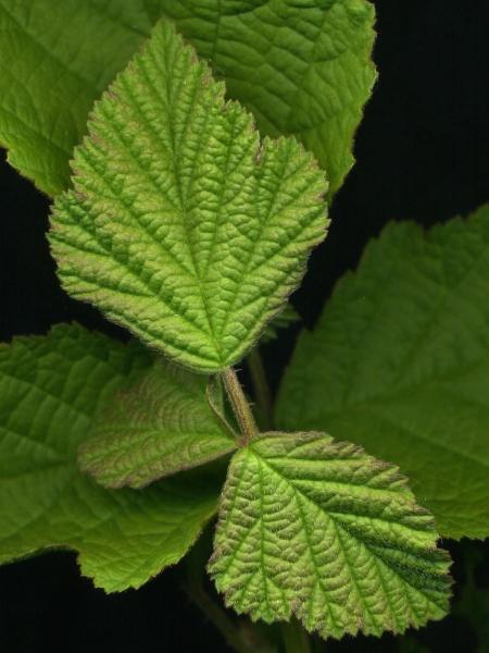2015-07-05 Rubus caesius 001k1