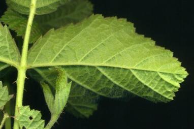 2015-07-05 Rubus caesius 002k1