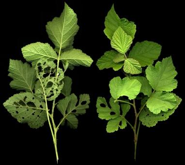 2015-07-05 Rubus caesius 003k