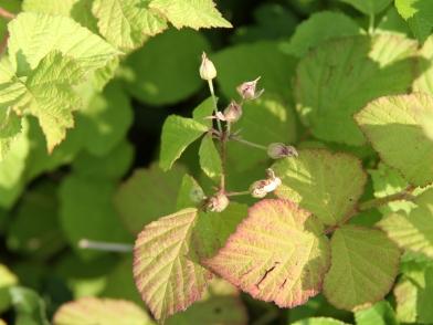 2015-07-07 Rubus caesius 4777