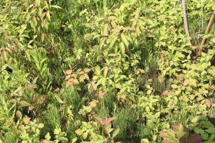 2015-07-07 Rubus caesius 4779