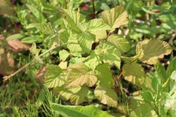 2015-07-07 Rubus caesius 4781
