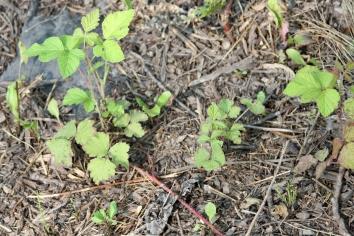 2015-07-07 Rubus caesius 4797