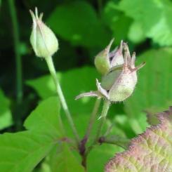 2015-07-08 Rubus caesius 04009-sq