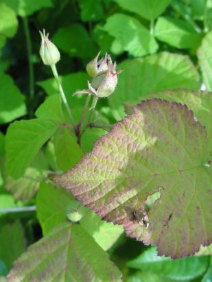 2015-07-08 Rubus caesius 04009