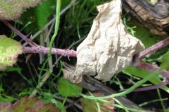 2015-07-08 Rubus caesius 04012
