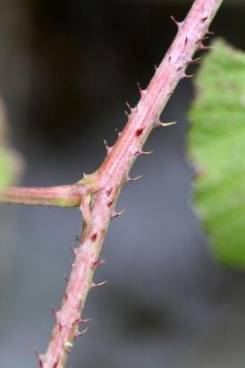 2015-07-08 Rubus caesius 4808