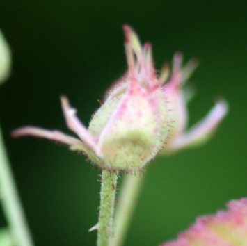 2015-07-08 Rubus caesius 4816