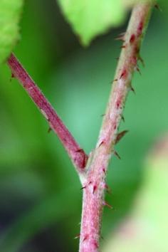 2015-07-08 Rubus caesius 4825