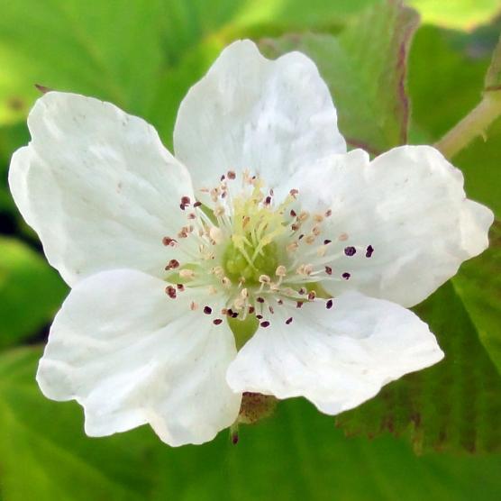 2015-07-13 Rubus caesius 04028
