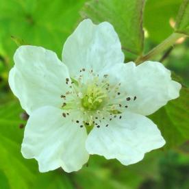 2015-07-13 Rubus caesius 04029