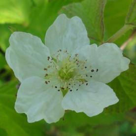2015-07-13 Rubus caesius 04030