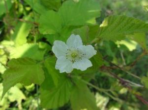 2015-07-13 Rubus caesius 04033