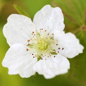 2015-07-13 Rubus caesius 4831
