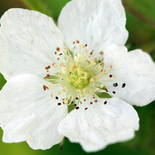 2015-07-13 Rubus caesius 4833