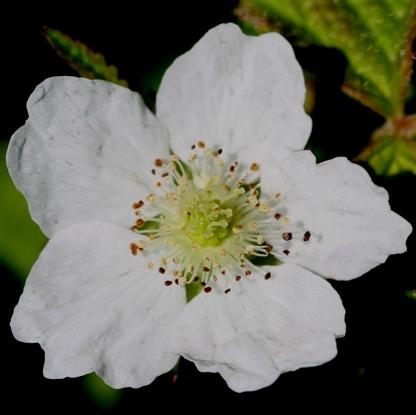 2015-07-13 Rubus caesius 4842-bc