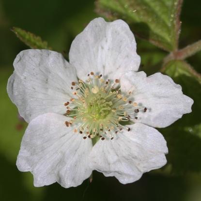 2015-07-13 Rubus caesius 4846-bc