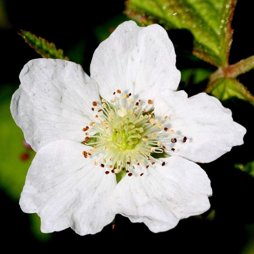 2015-07-13 Rubus caesius 4848-lev